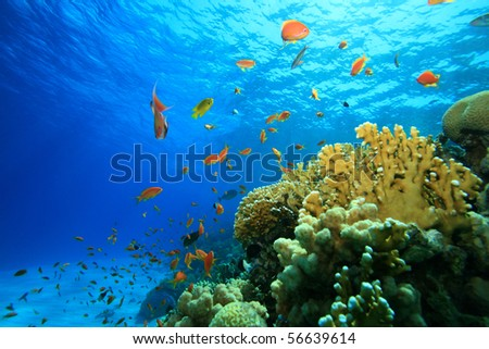 Coral Reef in the Red Sea with Lyretail Anthias - stock photo