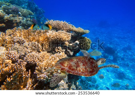 Coral reef of the tropical water with green turtle - stock photo
