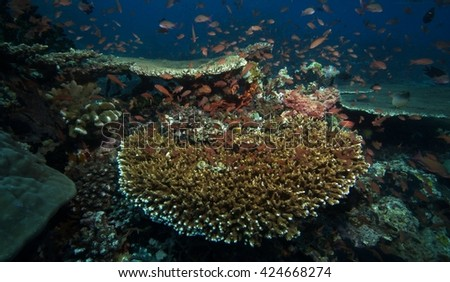 coral reef, plate coral
