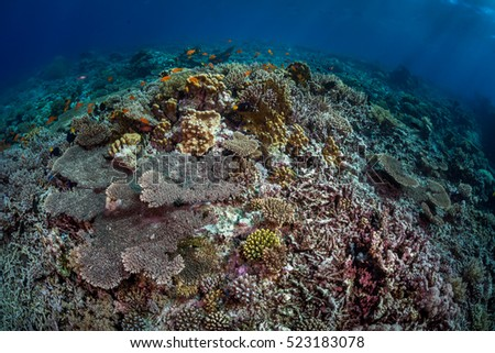 Coral reef scene with healthy table coral on the left and damaged coral rubble on the right. Egypt, Red Sea, November