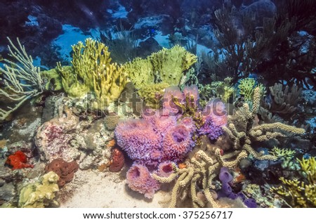 Coral reef wall with Azure Vase Sponge,Callyspongia plicifera and other soft and hard corals