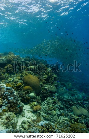 Coral reef with a large shoal of snappers (Lutjanidae) forming a ball above. Taken in the Wakatobi, Indonesia.