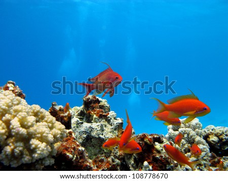 coral reef with exotic fishes Anthias - stock photo