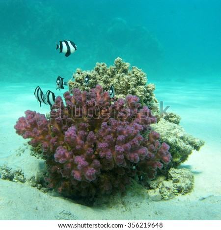 coral reef with exotic fishes dascyllus at the bottom of tropical sea, underwater - stock photo