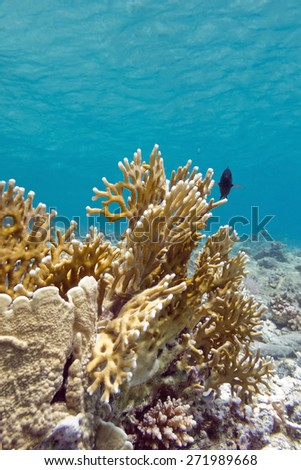 coral reef with fire coral at the bottom of tropical sea - stock photo