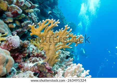 coral reef with fire coral at the bottom of tropical sea on blue water background - underwater - stock photo