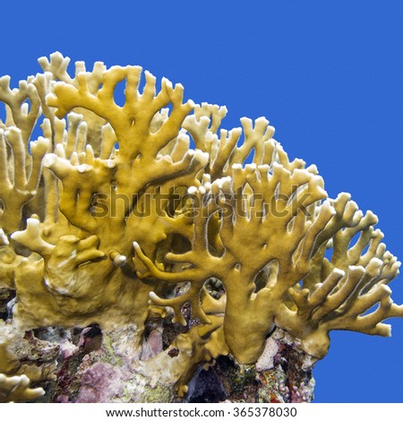 coral reef with fire coral on a background of blue water, underwater - stock photo