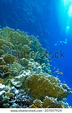 coral reef with fire corals and exotic fishes anthias at the bottom of tropical sea on blue water background - stock photo