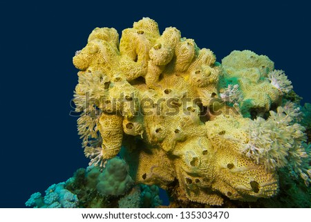 coral reef with great yellow sea sponge at the bottom of tropical sea - stock photo
