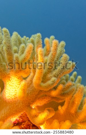 coral reef with great yellow soft coral on the bottom of tropical sea  on blue water background - stock photo