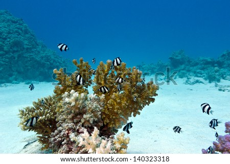 coral reef with hard coral and exotic fishes white-tailed damselfish  at the bottom of tropical sea - stock photo
