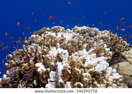 coral reef with hard corals and blue water at the bottom of tropical sea