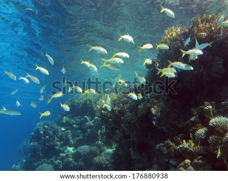 coral reef with shoal of goatfishes and hard corals at the bottom of tropical sea on blue water background - stock photo