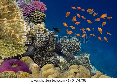 Coral reef with soft and hard corals with exotic fishes anthias. - stock photo