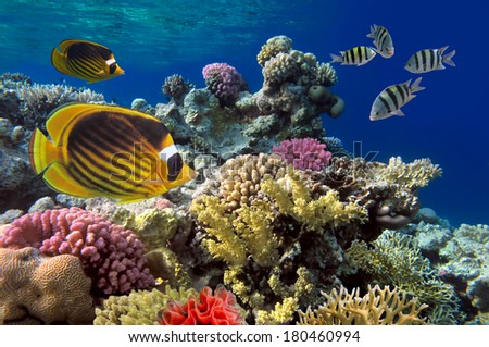 Coral reef with soft and hard corals with giant jellyfish - stock photo