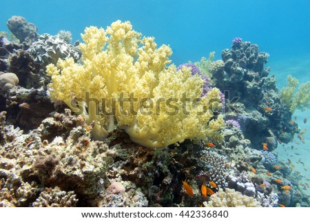 coral reef with yellow broccoli coral in tropical sea, underwater - stock photo