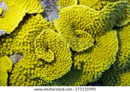 coral reef with yellow coral turbinaria mesenterina at the bottom of tropical sea - stock photo