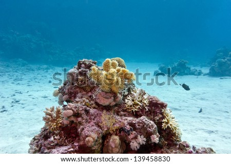 coral reef with yellow soft coral at the bottom of tropical sea - stock photo