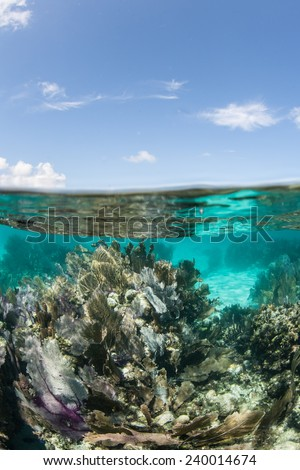 Coral reefs growing in the Caribbean Sea are often dominated by gorgonians and sponges. The tropical region is a popular vacation destination for tourists from all over the world.