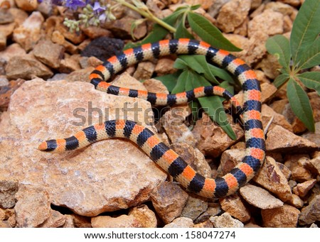 Coral Snake colors - Ground Snake, Sonora semiannulata - stock photo