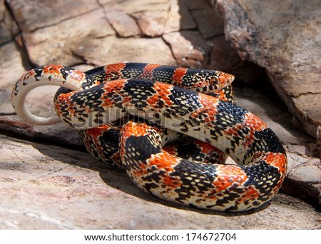 Coral Snake mimic, the Texas Long-nosed Snake, Rhinocheilus lecontei tesselatus, a brightly colored red, black and white snake  - stock photo