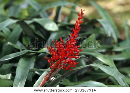 Coralberry's red flowers(Aechmea fulgens Brongn)