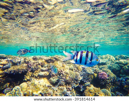 Corals and fish in the Red Sea, Egypt. Undersea world. Striped fish in the foreground - stock photo