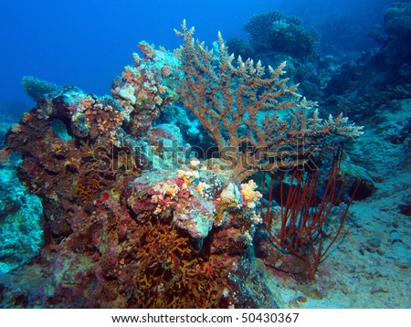 Corals of the Red Sea (Egypt).