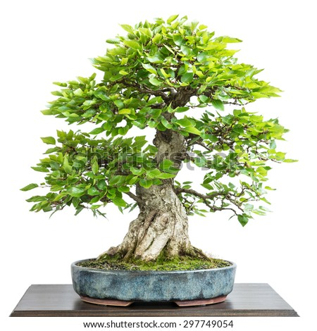 Corean hornbeam (Carpinus turczaninovii) as bonsai tree