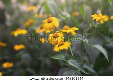 coreopsis flowers, misty morning - stock photo