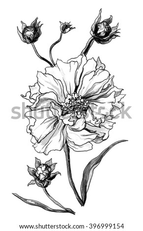 Coreopsis grandiflora flower isolated on white background. Hand drawn watercolor botanical black and white monochrome illustration for wedding printing projects, card, invitation, gift. Japanese style