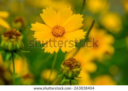 Coreopsis is a genus of flowering plants in the family Asteraceae. Common names include calliopsis and tickseed, a name shared with various other plants. - stock photo