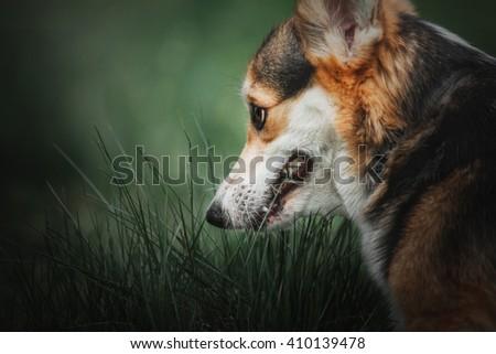Corgi dog eating grass - stock photo