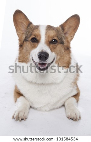 corgi pembroke in studio in front of a white background - stock photo