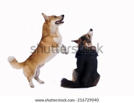 corgi pembroke  Requests dog treats  - stock photo