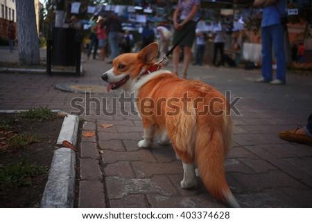 Corgi small dog on the street on a leash - stock photo