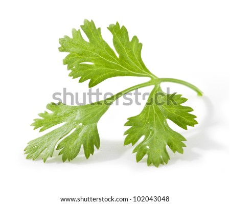 Coriander leaves isolated on white background, closeup, with clipping paths - stock photo