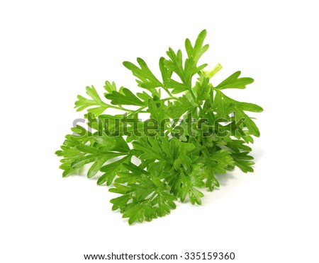 Coriandrum spp.tree, have medicinal properties and as a vegetable or used to cook it. - stock photo