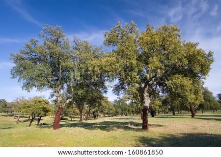 Cork oak, Monfrague, Caceres, Extremadura, Spain - stock photo