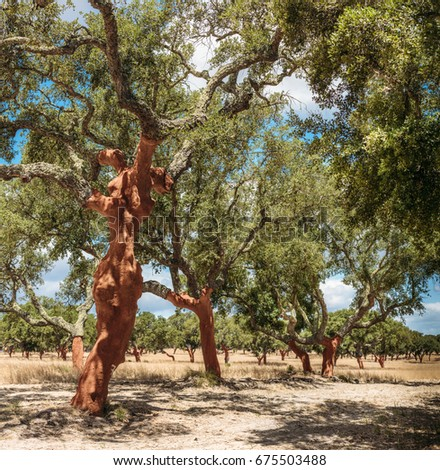 Corkwood near Comporta area in Portugal: cork has recently been harvested.