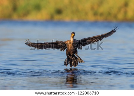 Cormorant comes in for landing - stock photo