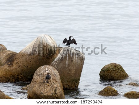 Cormorant dries wings on a stone in the port city of Valparaiso - Chile - stock photo