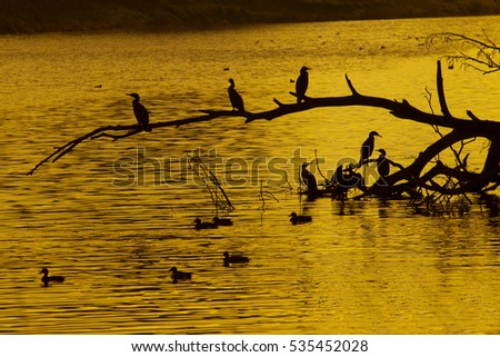 Cormorant Phalacrocorax carbo Roosting Birds At Sunset