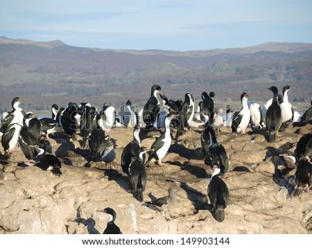 Cormorants Imperial Shags, rocks of Beagle Channel - stock photo