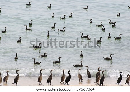 Cormorants in the Arabian Peninsula