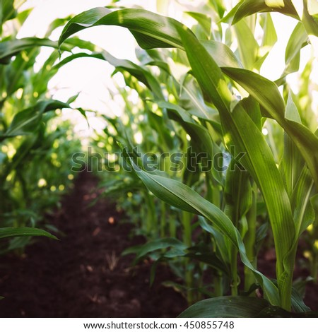 Corn agriculture. Green nature. Rural field on farm land  in summer. Plant growth. Farming scene. Outdoor landscape. Organic leaf. Crop season. Sun in the sky. - stock photo