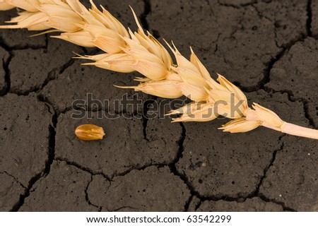 Corn and ear on waterless land background - life and death concept - stock photo