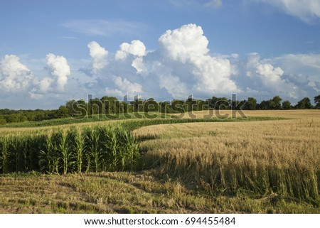 Corn and wheat fields in Minnesota with beautiful clouds on a bright summer day