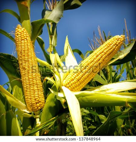 Corn close-up - stock photo