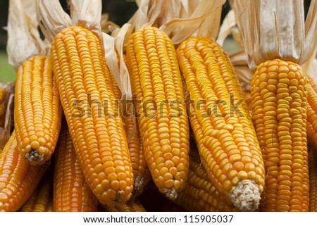 Corn close-up hold with hands after harvest.